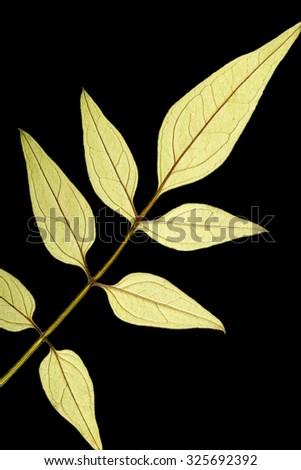 Dry pressed leaf of Jasmine on pure black background. - stock photo