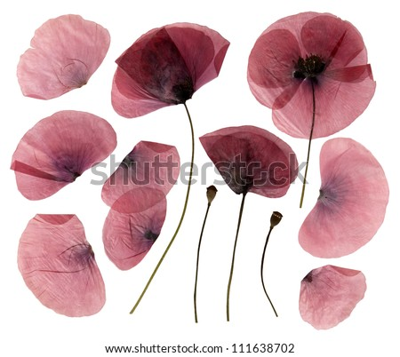 Dry, pressed poppy flowers isolated on white background - stock photo