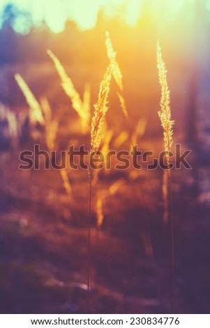 Dry Red Grass Field In Sunset Sunlight. Beautiful Yellow Sunrise Light Over Meadow. Summer In Russia. Toned Instant Photo - stock photo