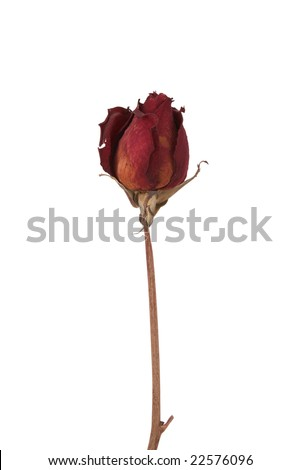 Dry rose isolated on white background