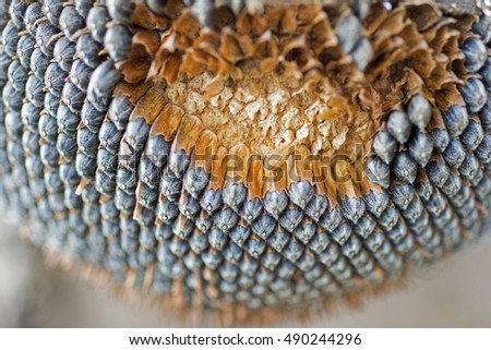 Dry Sunflower Close Up. Ripened Sunflower in Harvesting Time. Raw Seeds in Sunflower.