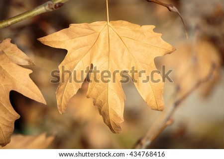 Dry sycamore leaf on branch tree - stock photo
