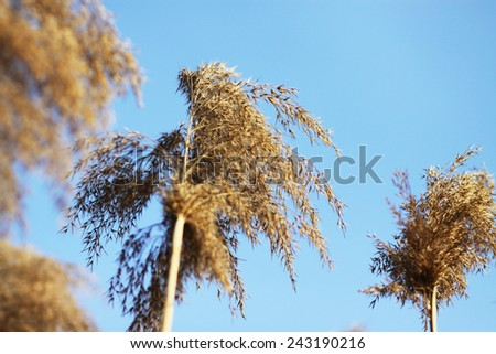 Dry tall reed by the river - stock photo