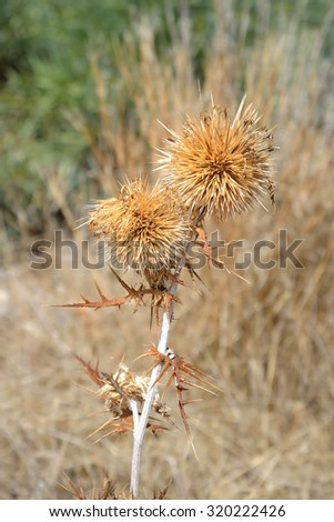Dry thorn on blurred background. - stock photo