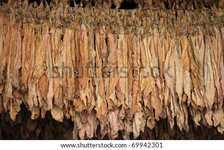 Dry tobacco leaf - stock photo