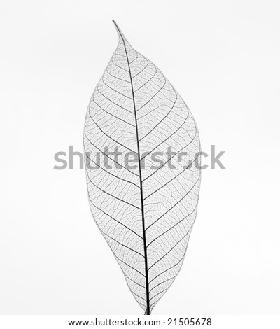 Dry transparent leaf  isolated on white background - stock photo