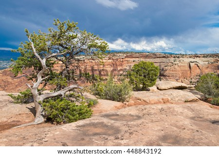 Dry Tree in the Colorado National Monument - stock photo