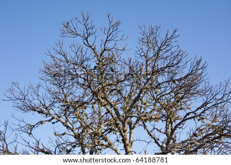 Dry tree with blue sky - stock photo
