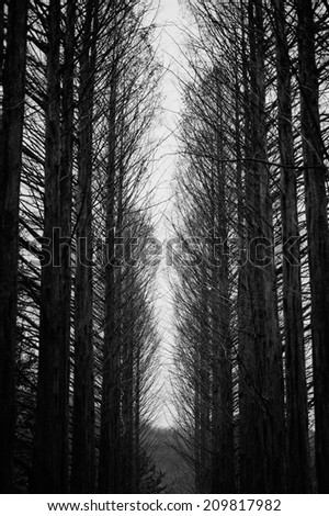 dry trees in the woods on Nami island - stock photo