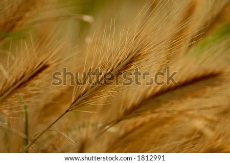 dry wheat field - stock photo