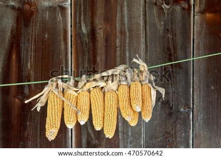 drying ears of corn hanging on a string in barn loft