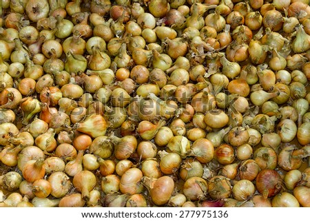 Drying of the big crop of onions - stock photo
