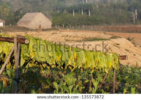Drying tobacco on wooden stands , Vinales, Cuba - stock photo