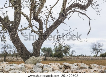 Drystone wall and tree rural landscape in south Mallorca, Balearic islands, Spain in October. - stock photo