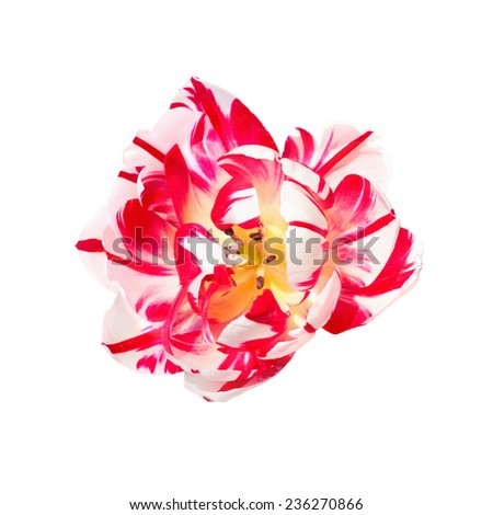 Dual colored red-white tulip on a white background - stock photo