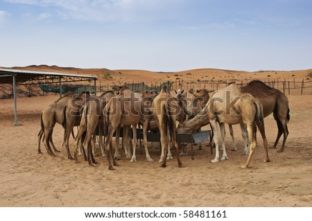 Dubai Camels in the desert