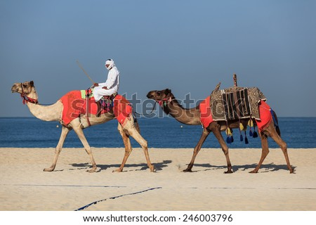 DUBAI - NOVEMBER 28: Camel ride in Dubai Jumeira Beach as seen on November 28, 2014. Camel riding is very popular in winter and cold weathers in Dubai.