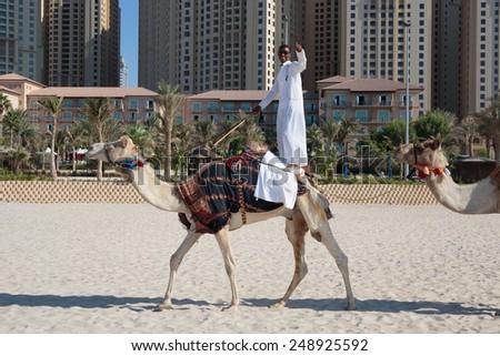DUBAI, UAE - NOVEMBER 11: High rise buildings and camel on the beach in Dubai Marina, on November 11, 2013, Dubai, UAE. In the city of artificial channel length of 3 kilometers along the Persian Gulf. - stock photo