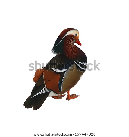Duck a mandarinka isolated on the white - stock photo