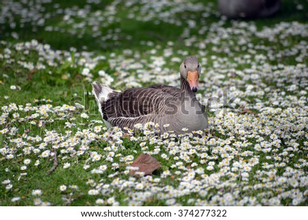 duck among daisies in fota wildlife park near cobh county cork ireland - stock photo