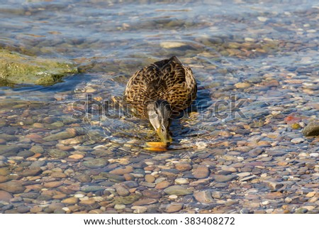 Duck (Anas platyrhynchos) on the water in search of food