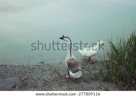 Duck and Goose - stock photo
