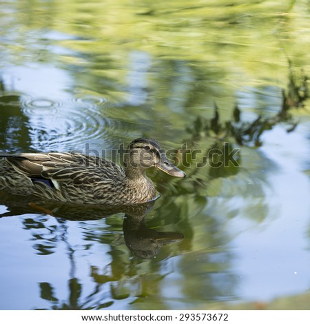 Duck, close up female mallard swimming in a lake, square cropped image. - stock photo