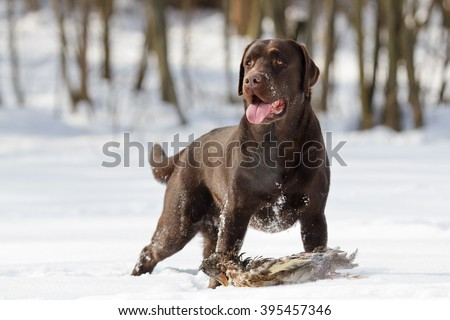 duck hunting with Chocolate purebred labrador retriever dog returning mallard bird on the snow in winter outdoor - stock photo