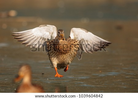 stock-photo-duck-in-detail-above-lake-ic