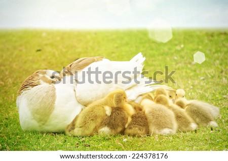Duck in the garden - stock photo