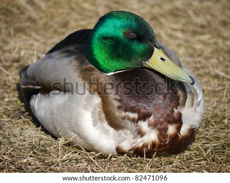duck in the grass in spring