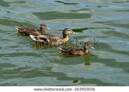 Duck Mallard with ducklings swimming in the lake - stock photo