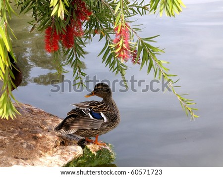 Duck on the banks of the pond of Ramat Gan Park, Israel - stock photo