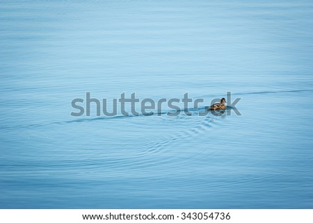 duck on the lake at sunset in a beautiful summer day - stock photo