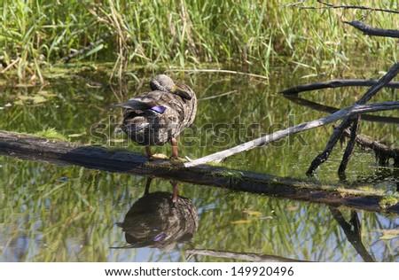 Duck preens itself on log in a swamp area of Fernan Lake, Idaho. - stock photo