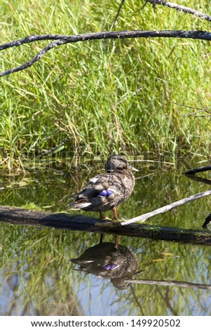 Duck rests on log in a swamp area of Fernan Lake, Idaho. - stock photo