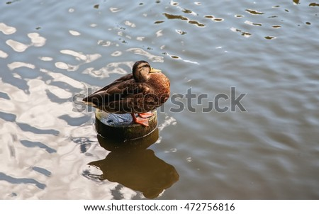 Duck sitting on a wooden column in water, selective focus