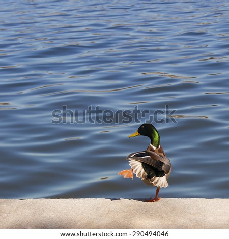 duck stands on the granite bank of a river