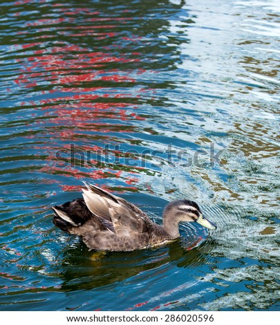 Duck swim in pond. Wave reflection of colorful blue on water surface. - stock photo