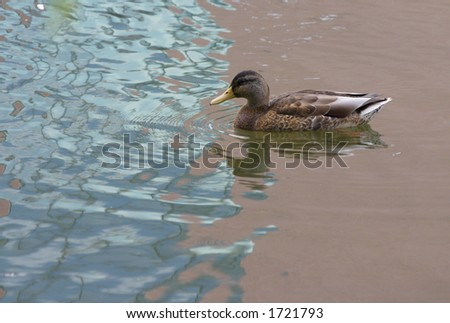 Duck swimming in reflection