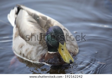 Duck swimming in the pond - stock photo