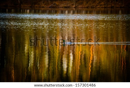 Duck swimming in the pond in Autumn - stock photo