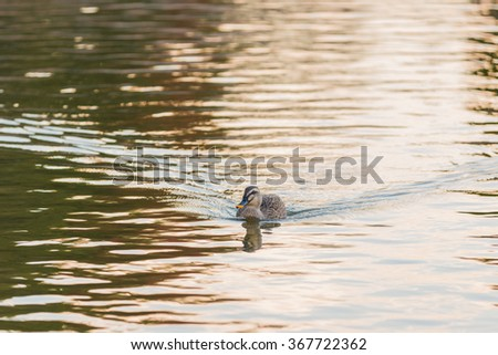 Duck swimming in the river, evening time.