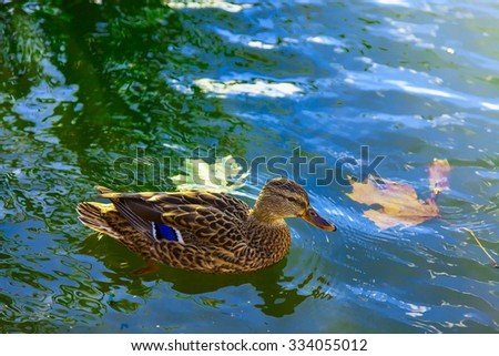 Duck Swimming In The Water with Maple Leaves - stock photo