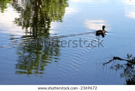 Duck swims away - stock photo