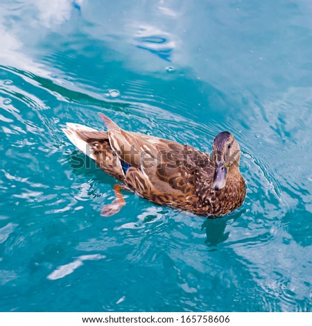 Duck swims over the river with many fishes. Plitvice Lakes National Park, the largest national park in Croatia founded in 1949 - stock photo
