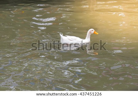 Duck,White ducks swimming in search of food. - stock photo