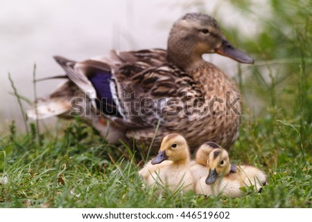 duck with chicks and water lilies - stock photo