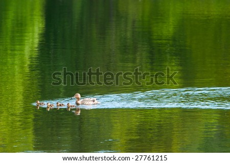 duck with ducklings swimming across lake - stock photo