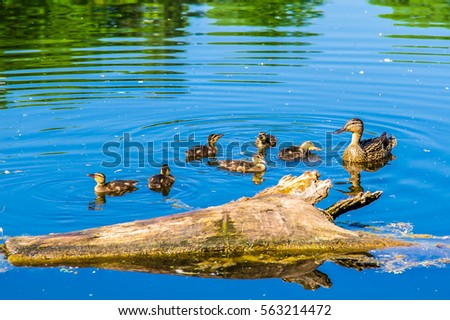 Duck Stock Photos, Royalty-Free Images & Vectors ...